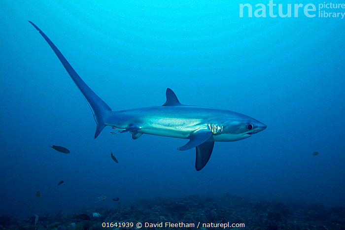 Pelagic thresher shark (Alopias pelagicus) to visit cleaning stations on the reef. Monad Shoal off Malapascua Island, Philippines  ,  Animal,Wildlife,Vertebrate,Cartilaginous fish,Mackeral shark,Thresher sharks,Pelagic Thresher,Animalia,Animal,Wildlife,Vertebrate,Chondrichthyes,Cartilaginous fish,Jawed fish,Lamniformes,Mackeral shark,Elasmobranchii,Elasmobranches,Alopiidae,Thresher sharks,Alopias,Alopias pelagicus,Pelagic Thresher,Thresher Shark,Whiptail Shark,Asia,South East Asia,Republic of the Philippines,Tropical,Ocean,Pacific Ocean,Marine,Underwater,Water,Saltwater,Biodiversity hotspots,Biodiversity hotspot,Philippines,Shark,Endangered species,threatened,Vulnerable,Marine  ,  David Fleetham