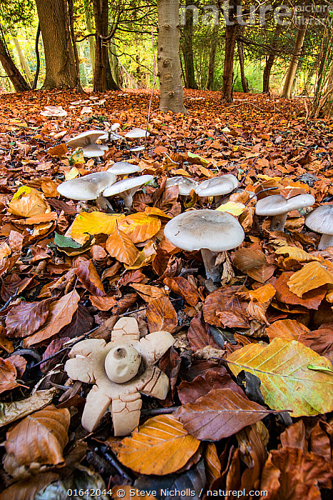 Earthstar (Geastrum sp.) and ring of toadstools (Clitocybe sp?) in beech wood, Buckholt Wood, Gloucestershire, England, UK. October.  ,  Higher Fungi,Earth star,Fungus,Fungi,Basidiomycota,Higher Fungi,Agaricomycetes,Geastrales,Geastraceae,Geastrum,Earth star,Europe,Western Europe,UK,Great Britain,England,Gloucestershire,Plant,Autumn,Woodland,Habitat,Forest,Gasteroid,Gasteromycetes  ,  Steve Nicholls
