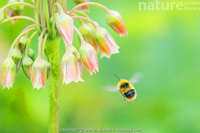 Honey garlic (Nectaroscordium siculum) with Bumblebee in flight. Naturalised in the Avon Gorge, Bristol, UK, June.  ,  Animal,Wildlife,Arthropod,Insect,Bee,Bumblebee,Animalia,Animal,Wildlife,Hexapoda,Arthropod,Invertebrate,Hexapod,Arthropoda,Insecta,Insect,Hymenoptera,Apidae,Bee,Apid bee,Apoidea,Apocrita,Bombus,Bumblebee,Bumble bee,Europe,Western Europe,UK,Great Britain,England,Bristol,Plant,Flower,Catalogue13,Catalogue13  ,  Steve Nicholls