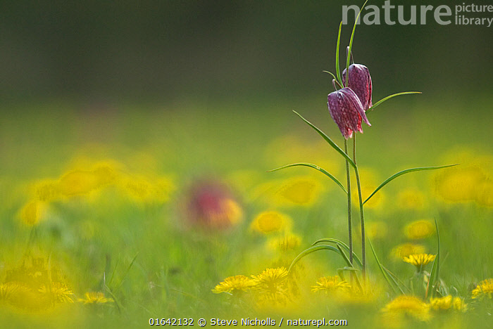 Snakeshead fritillary (Fritillaria meleagris) North Meadow, Cricklade, home of 90% of the UK population. Wiltshire, England, UK, April., Plant,Vascular plant,Flowering plant,Monocot,Lily family,Fritillary,Snake&#39,s head fritillary,Plantae,Plant,Tracheophyta,Vascular plant,Magnoliopsida,Flowering plant,Angiosperm,Seed plant,Spermatophyte,Spermatophytina,Angiospermae,Liliales,Monocot,Monocotyledon,Lilianae,Liliaceae,Lily family,Fritillaria,Fritillary,Fritillaria meleagris,Snake&#39,s head fritillary,Chequered lily,Checkered lily,Snake&#39,s head,Checkered daffodil,Chess flower,Lilium meleagris,Colour,Purple,Yellow,Europe,Western Europe,UK,Great Britain,England,Close Up,Flower,Habitat,, Steve Nicholls