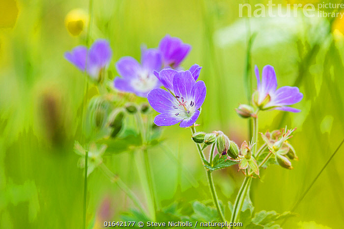 Wood cranesbill (Geranium sylvaticum) growing at Muker Meadows in Swaledale, Yorkshire, England, UK, June.  ,  Plant,Vascular plant,Flowering plant,Rosid,Geranium family,Wood cranesbill,Plantae,Plant,Tracheophyta,Vascular plant,Magnoliopsida,Flowering plant,Angiosperm,Seed plant,Spermatophyte,Spermatophytina,Angiospermae,Geraniales,Rosid,Dicot,Dicotyledon,Rosanae,Geraniaceae,Geranium family,Geranium,Geranium sylvaticum,Wood cranesbill,Woodland geranium,Geranium angulatum,Geranium batrachioides,Geranium lemanianum,Colour,Pink,Europe,Western Europe,UK,Great Britain,England,Flower,Yorkshire,Catalogue13,Catalogue13  ,  Steve Nicholls