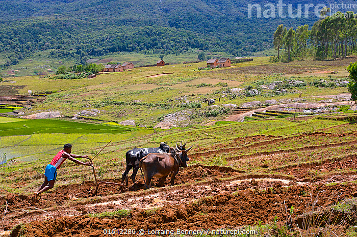 Man ploughing rice field with cattle, Madagascar.  ,  Ploughing,People,Man,Agricultural Occupation,Farmer,Traditional,Africa,Madagascar,Malagasy Republic,Republic of Madagascar,Animal,Plant,Crops,Produce,Cultivated,Equipment,Agricultural Equipment,Agricultural Machinery,Agricultural Machine,Agricultural Machines,Machine,Machines,Plow,Plough,Ploughs,Plows,Landscape,Agriculture,Livestock,Domestic animal,Cattle,Biodiversity hotspots,Biodiversity hotspot,Domesticated,Mammal,  ,  Lorraine Bennery
