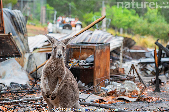 Eastern grey kangaroo (Macropus giganteus) on the burnt grounds of Wallabia Wildlife Shelter. The shelter was destroyed during the 2019/20 bushfires. This male kangaroo (called 'Link') was one of the animals evacuated by owners Rena and Joseph, who also lost their home to the fires. They returned later to rebuild. Goongerah, Victoria, Australia. February, 2020. Editorial use only., Animal,Wildlife,Vertebrate,Mammal,Marsupial,Macropod,Eastern grey kangaroo,Animalia,Animal,Wildlife,Vertebrate,Mammalia,Mammal,Marsupialia,Marsupial,Macropodidae,Macropod,Macropus,Macropus giganteus,Eastern grey kangaroo,Kangaroo,Resilience,Resilient,Survival,Damaged,Burnt,Destruction,Australasia,Australia,Victoria,Portrait,Fire,Natural Disaster,Forest Fire,Forest Fires,Survivor,, Doug Gimesy