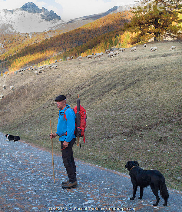 Shepherd with flock of sheep and dogs in autumn, French Alps, France. November 2013.  ,  Plant,Vascular plant,Conifer,Larch tree,Canis familiaris,Plantae,Plant,Tracheophyta,Vascular plant,Pinopsida,Conifer,Gymnosperm,Spermatophyte,Pinophyta,Coniferophyta,Coniferae,Spermatophytina,Gymnospermae,Pinales,Pinaceae,Larix,Larch tree,Larch,Walking,People,Man,Europe,Western Europe,France,Animal,Tree,Deciduous,Landscape,Autumn,Livestock,Hiking,Alps,Domestic animal,Pet,Domestic Dog,Pastoral Dog,Medium dog,Border Collie,Collie,Domestic Sheep,Domesticated,Canis familiaris,Ovis aries,Dog,Moving,Sheep,French Alps,Alpes,Mammal,Coniferous,Movement,Tree,Trees  ,  Pascal  Tordeux