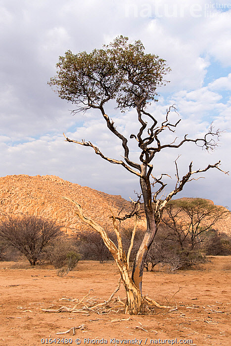 Shepherd's tree (Boscia albitrunca) covered in mud from tree termite activity , Erongo mountains, Namibia  ,  Africa,Southern Africa,Namibia,South-West Africa,Plant,Tree,Desert,Namibian,  ,  Rhonda Klevansky