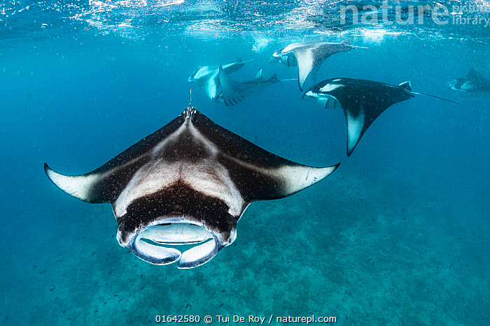 Reef manta rays (Manta alfredi) filter feeding on plankton. Vandhoo Thila, Raa Atoll, Maldives  ,  Animal,Wildlife,Vertebrate,Cartilaginous fish,Rays,Ray,Eagle rays,Coastal Manta Ray,Animalia,Animal,Wildlife,Vertebrate,Chondrichthyes,Cartilaginous fish,Jawed fish,Myliobatiformes,Rays,Ray,Myliobatidae,Eagle rays,Mobula,Mobula alfredi,Inshore Manta Ray,Prince Alfred&#39,s Ray,Reef Manta Ray,Resident Manta Ray,Deratoptera alfredi,Manta fowleri,Maldives,Maldive Islands,Republic of Maldives,Tropical,Ocean,Indian Ocean,Marine,Underwater,Water,Feeding,Saltwater,Coastal Manta Ray,Indian Ocean Islands,Manta alfredi,  ,  Tui De Roy