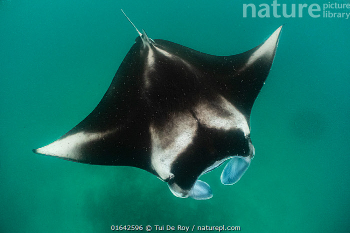 Reef manta ray (Manta alfredi) filter feeding on plankton. Madhivafaru Reef, Raa Atoll, Maldives  ,  Animal,Wildlife,Vertebrate,Cartilaginous fish,Rays,Ray,Eagle rays,Coastal Manta Ray,Animalia,Animal,Wildlife,Vertebrate,Chondrichthyes,Cartilaginous fish,Jawed fish,Myliobatiformes,Rays,Ray,Myliobatidae,Eagle rays,Mobula,Mobula alfredi,Inshore Manta Ray,Prince Alfred&#39,s Ray,Reef Manta Ray,Resident Manta Ray,Deratoptera alfredi,Manta fowleri,Maldives,Maldive Islands,Republic of Maldives,Tropical,Ocean,Indian Ocean,Marine,Underwater,Water,Feeding,Saltwater,Coastal Manta Ray,Indian Ocean Islands,Manta alfredi,  ,  Tui De Roy