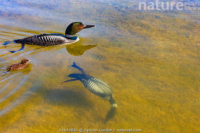 Common Loons (Gavia immer) one diving underwater , Michigan, USA. June.  ,  Animal,Wildlife,Vertebrate,Bird,Birds,Diver,Great northern diver,American,Catalogue13,Animalia,Animal,Wildlife,Vertebrate,Aves,Bird,Birds,Gaviiformes,Gaviidae,Diver,Loon,Gavia,Gavia immer,Great northern diver,Common loon,Black billed loon,Diving,Nobody,North America,USA,Midwest,Michigan,Nature,Freshwater,Lake,Underwater,Water,American,United States of America,Catalogue13,Animals,Vertebrates,Chordates,Divers,Loons,Lakes,Animal,Wildlife,Vertebrate,Bird,Birds,Diver,Great northern diver,American  ,  Sylvain Cordier