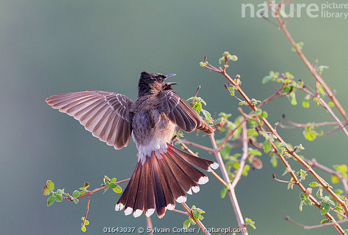 Red-vented bulbul (Pycnonotus cafer) landing on branch. Jim Corbett National Park, Uttarakhand, India.  ,  Animal,Wildlife,Vertebrate,Bird,Birds,Songbird,Bulbul,Red vented bulbul,Animalia,Animal,Wildlife,Vertebrate,Aves,Bird,Birds,Passeriformes,Songbird,Passerine,Pycnonotidae,Bulbul,Pycnonotus,Pycnonotus cafer,Red vented bulbul,Molpastes cafer,Molpastes haemorrhous,Pycnonotus pygaeus,Landing,Asia,Indian Subcontinent,India,Mouth,Feather,Reserve,Flight feathers,Protected area,National Park,Tail Feather,Uttarakhand,Wing feathers,Open Mouth,Jim Corbett National Park,  ,  Sylvain Cordier