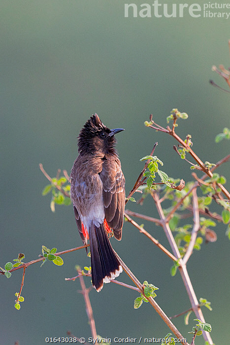 Red-vented bulbul (Pycnonotus cafer) perched on branch. Jim Corbett National Park, Uttarakhand, India.  ,  Animal,Wildlife,Vertebrate,Bird,Birds,Songbird,Bulbul,Red vented bulbul,Animalia,Animal,Wildlife,Vertebrate,Aves,Bird,Birds,Passeriformes,Songbird,Passerine,Pycnonotidae,Bulbul,Pycnonotus,Pycnonotus cafer,Red vented bulbul,Molpastes cafer,Molpastes haemorrhous,Pycnonotus pygaeus,Asia,Indian Subcontinent,India,Reserve,Protected area,National Park,Uttarakhand,Jim Corbett National Park,  ,  Sylvain Cordier