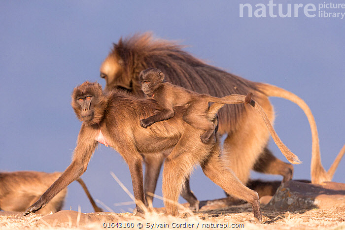 Gelada baboon (Theropithecus gelada) female carrying baby on back, dominant male in background. Debre Libanos, Rift Valley, Ethiopia.  ,  Animal,Wildlife,Vertebrate,Mammal,Monkey,Gelada,Animalia,Animal,Wildlife,Vertebrate,Mammalia,Mammal,Primate,Primates,Cercopithecidae,Monkey,Old World Monkeys,Theropithecus,Gelada,Baboon,Papionini,Cercopithecinae,Theropithecus gelada,Gelada Baboon,Piggybacks,Few,Three,Group,Africa,East Africa,Ethiopia,Young Animal,Baby,Male Animal,Family,Mother baby,Mother,Horn of Africa,Biodiversity hotspots,Biodiversity hotspot,Parent baby,Three Animals,Alpha Male,Debre Libanos,  ,  Sylvain Cordier