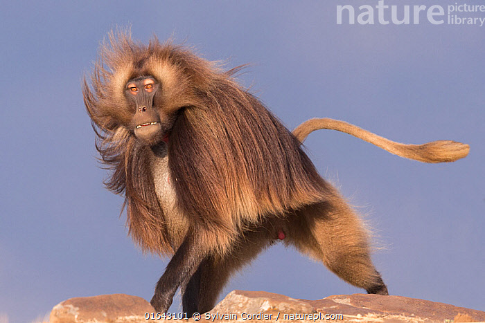 RF-Gelada baboon (Theropithecus gelada) dominant male running. Debre Libanos, Rift Valley, Ethiopia. 2017. (This image may be licensed either as rights managed or royalty free)  ,  Animal,Wildlife,Vertebrate,Mammal,Monkey,Gelada,Animalia,Animal,Wildlife,Vertebrate,Mammalia,Mammal,Primate,Primates,Cercopithecidae,Monkey,Old World Monkeys,Theropithecus,Gelada,Baboon,Papionini,Cercopithecinae,Theropithecus gelada,Gelada Baboon,Running,Dominant,Dominance,Strength,Hairstyle,Portrait,Male Animal,Tail,Moving,Alpha Male,Movement,RF6,  ,  Sylvain Cordier