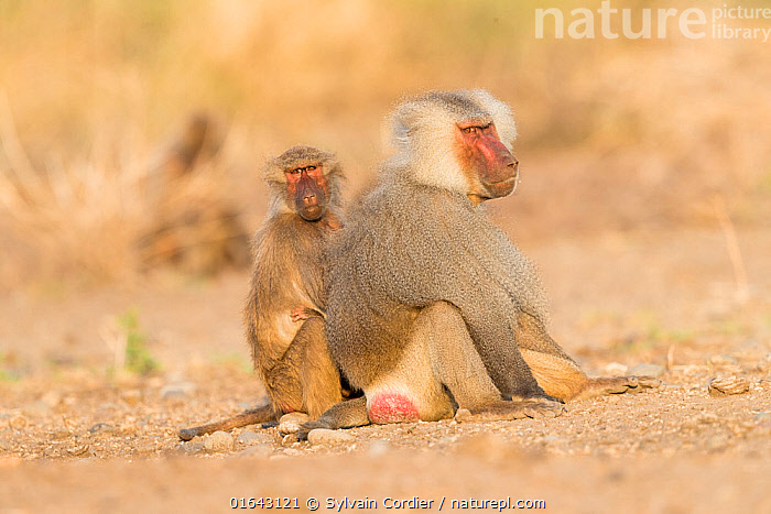 Hamadryas baboon (Papio hamadryas), two, dominant male sitting with member of family. Awash National Park, Rift Valley, Ethiopia.  ,  Animal,Wildlife,Vertebrate,Mammal,Monkey,Baboon,Hamadryas Baboon,Animalia,Animal,Wildlife,Vertebrate,Mammalia,Mammal,Primate,Primates,Cercopithecidae,Monkey,Old World Monkeys,Papio,Baboon,Papionini,Papio hamadryas,Hamadryas Baboon,Sacred Baboon,Papio aegyptiaca,Papio arabicus,Papio brockmani,Papio chaeropitheus,Papio cynamolgus,Papio nedjo,Papio wagleri,Sitting,Two,Africa,East Africa,Ethiopia,Male Animal,Reserve,Horn of Africa,Biodiversity hotspots,Biodiversity hotspot,Protected area,National Park,Two animals,Alpha Male,Awash,  ,  Sylvain Cordier