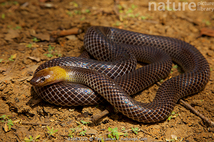 Brown-headed snake (Furina tristis) Piccaninny Plains Sanctuary, Cape York Peninsula, Queensland, Australia. Venomous.  ,  Animal,Wildlife,Vertebrate,Reptile,Squamate,Elapid,Animalia,Animal,Wildlife,Vertebrate,Reptilia,Reptile,Squamata,Squamate,Elapidae,Elapid,Snake,Furina,Australasia,Australia,Queensland,Venomous,Venom,Protected area,Sanctuary,Furina tristis,Venomous  ,  Tim  Laman