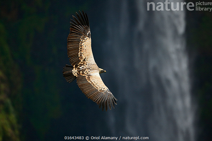 Ruppell's griffon vulture (Gyps rueppellii) flying over Jinbar waterfall, Simien Mountains National Park, Amhara, Ethiopia, September. Critically endangered species.  ,  Animal,Wildlife,Vertebrate,Bird,Birds,Vulture,Ruppell&#39,s griffon vulture,Animalia,Animal,Wildlife,Vertebrate,Aves,Bird,Birds,Accipitriformes,Accipitridae,Gyps,Vulture,Old world vulture,Gyps rueppelli,Ruppell&#39,s griffon vulture,Ruppell&#39,s vulture,Ruppell&#39,s griffon,Flying,Africa,East Africa,Ethiopia,Flowing Water,Waterfall,Freshwater,Water,Reserve,Protected area,National Park,Birds of Prey,Raptor,Endangered species,threatened,Endangered  ,  Oriol  Alamany