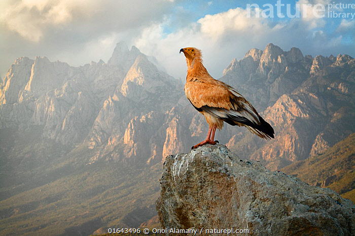 Egyptian vulture (Neophron percnopterus) adult with the Haggeher mountains in the background, Socotra Island, Yemen, March.  ,  Animal,Wildlife,Vertebrate,Bird,Birds,Vulture,Egyptian vulture,Animalia,Animal,Wildlife,Vertebrate,Aves,Bird,Birds,Accipitriformes,Accipitridae,Neophron,Vulture,Old world vulture,Neophron percnopterus,Egyptian vulture,White scavenger vulture,Scavenger vulture,Asia,Middle East,Yemen,Profile,Side View,Mountain,Landscape,Habitat,Arabia,Socotra Archipelago,Socotra,Birds of Prey,Raptor,Catalogue13,Endangered species,threatened,Endangered,Catalogue13  ,  Oriol  Alamany