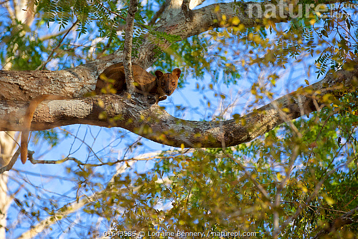 Fosa (Cryptoprocta ferox) female in tree, Kirindy forest, private reserve, Madagascar, endemic, November. Vulnerable species  ,  Animal,Wildlife,Vertebrate,Mammal,Carnivore,Fossa,Animalia,Animal,Wildlife,Vertebrate,Mammalia,Mammal,Carnivora,Carnivore,Eupleridae,Cryptoprocta,Fossa,Cryptoprocta ferox,Cryptoprocta typicus,Africa,Madagascar,Malagasy Republic,Republic of Madagascar,Climbing,Biodiversity hotspots,Biodiversity hotspot,Endemic,Fosa,Endangered species,threatened,Vulnerable  ,  Lorraine Bennery