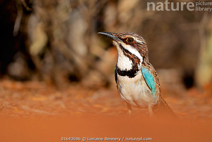 Long-tailed ground roller (Uratelornis chimaera), Reniala Forest, Madagascar, October 2019. Vulnerable species  ,  Animal,Wildlife,Vertebrate,Bird,Birds,Ground roller,Long tailed ground roller,Animalia,Animal,Wildlife,Vertebrate,Aves,Bird,Birds,Coraciiformes,Brachypteraciidae,Ground roller,Uratelornis,Uratelornis chimaera,Long tailed ground roller,Africa,Madagascar,Malagasy Republic,Republic of Madagascar,Nature,Endangered Species,Threatened,Biodiversity hotspots,Biodiversity hotspot,Endemic,Vulnerable species,Endangered species,threatened,Vulnerable  ,  Lorraine Bennery