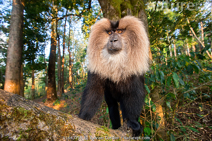 Lion-tailed macaque (Macaca silenus), dominant male, Anaimalai Mountain Range, Nilgiri hills, Tamil Nadu, India  ,  Animal,Wildlife,Vertebrate,Mammal,Monkey,Macaque,Lion-tailed Macaque,Animalia,Animal,Wildlife,Vertebrate,Mammalia,Mammal,Primate,Primates,Cercopithecidae,Monkey,Old World Monkeys,Macaca,Macaque,Papionini,Macaca silenus,Lion-tailed Macaque,Liontail Macaque,Wanderoo,Macaca albibarbatus,Macaca veter,Macaca vetulus,Asia,Indian Subcontinent,India,Male Animal,Mane,Catalogue13,Endangered species,threatened,Endangered,Catalogue13  ,  Sylvain Cordier