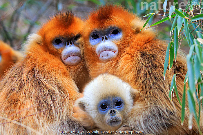 Golden snub-nosed monkey (Rhinopithecus roxellana), two females embracing with baby, Qinling Mountains, Shaanxi province, China  ,  Animal,Wildlife,Vertebrate,Mammal,Monkey,Snub nosed monkeys,Golden Snub-nosed Monkey,Animalia,Animal,Wildlife,Vertebrate,Mammalia,Mammal,Primate,Primates,Cercopithecidae,Monkey,Old World Monkeys,Rhinopithecus,Snub nosed monkeys,Rhinopithecus roxellana,Golden Snub-nosed Monkey,Sichuan Golden Snub-nosed Monkey,Asia,East Asia,China,Female animal,Family,Mother baby,Mother,Parent baby,Catalogue13,Endangered species,threatened,Endangered,Catalogue13  ,  Sylvain Cordier