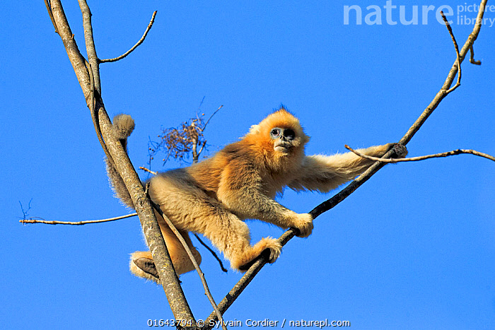 Golden snub-nosed monkey (Rhinopithecus roxellana) in tree, with blue sky. Qinling Mountains, Shaanxi province, China  ,  Animal,Wildlife,Vertebrate,Mammal,Monkey,Snub nosed monkeys,Golden Snub-nosed Monkey,Animalia,Animal,Wildlife,Vertebrate,Mammalia,Mammal,Primate,Primates,Cercopithecidae,Monkey,Old World Monkeys,Rhinopithecus,Snub nosed monkeys,Rhinopithecus roxellana,Golden Snub-nosed Monkey,Sichuan Golden Snub-nosed Monkey,Colour,Blue,Asia,East Asia,China,Plant,Tree,Endangered species,threatened,Endangered  ,  Sylvain Cordier