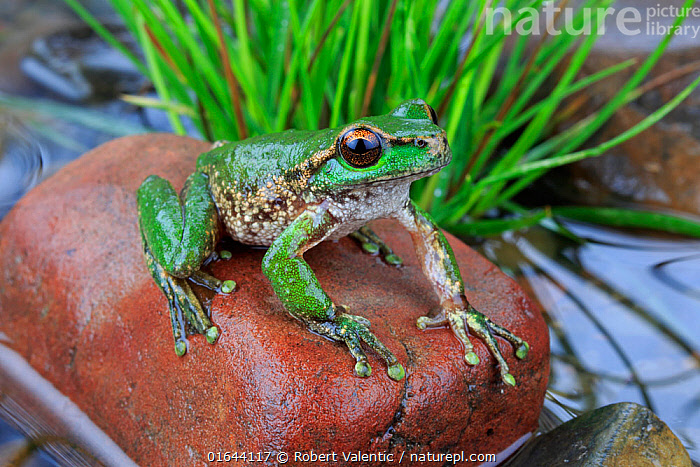 Spotted tree frog (Litoria spenceri) male, from Still Creek, north-eastern Victoria, Australia. December, Controlled conditions. Critically endangered species.  ,  Australasia,Australia,Victoria,Portrait,Animal,Male Animal,  ,  Robert Valentic