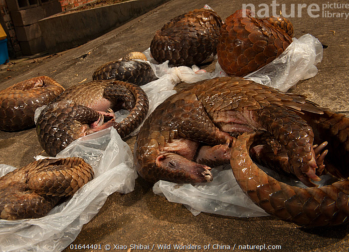 Six Sunda pangolins (Manis javanica) seized from a commercial tenant's rental house during an operation by the forest police. Conghua market, Guangzhou, Guangdong, China., Animal,Wildlife,Vertebrate,Mammal,Pangolin,Pangolins,Malayan Pangolin,Animalia,Animal,Wildlife,Vertebrate,Mammalia,Mammal,Pholidota,Pangolin,Manidae,Pangolins,Scaly anteater,Trenggiling,Manis,Manis javanica,Malayan Pangolin,Sunda Pangolin,Dead,Asia,East Asia,China,Death,Wildlife crime,Confiscated,Endangered species,threatened,Vulnerable, Xiao Shibai / Wild Wonders of China