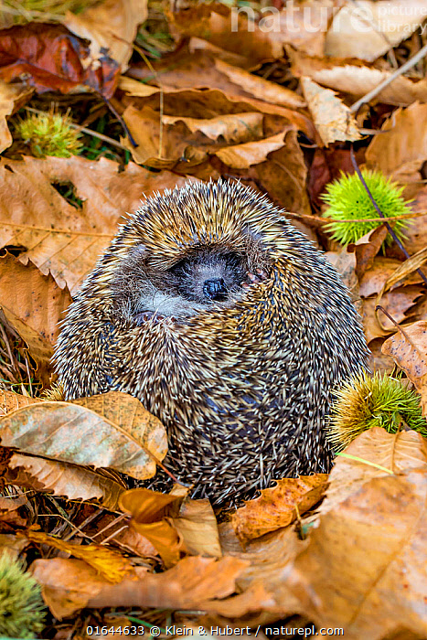 Adult Common hedgehog (Erinaceus europaeus) rolled up into an ball in dead leaves in autumn, France. Controlled conditions.  ,  Animal,Wildlife,Vertebrate,Mammal,Hedgehog,European Hedgehog,Animalia,Animal,Wildlife,Vertebrate,Mammalia,Mammal,Erinaceomorpha,Erinaceidae,Hedgehog,Erinaceus,Erinaceus europaeus,European Hedgehog,Western European Hedgehog,Western Hedgehog,Europe,Western Europe,France,Balls,Autumn,Animal Behaviour,Defensive,Behaviour,Defensive structures,Spine,Curled up,Defense,Defence,Defending,Behavioural,  ,  Klein & Hubert