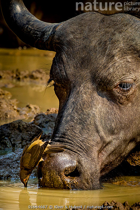 African buffalo (Syncerus caffer) drinking at water hole in dry season and Red-billed oxpeckers (Buphagus erythrorhynchus) on head, South Luangwa National Park, Zambia.  ,  Animal,Wildlife,Vertebrate,Bird,Birds,Songbird,Oxpecker,Red billed oxpecker,Mammal,Bovid,Buffalo,African buffalo,Animalia,Animal,Wildlife,Vertebrate,Aves,Bird,Birds,Passeriformes,Songbird,Passerine,Buphagidae,Oxpecker,Buphagus,Buphagus erythrorhynchus,Red billed oxpecker,Tanagra erythrorhyncha,Mammalia,Mammal,Artiodactyla,Even-toed ungulates,Bovidae,Bovid,ruminantia,Ruminant,Syncerus,Buffalo,Syncerus caffer,African buffalo,Symbiotic Relationship,Africa,Zambia,Southern Africa,Close Up,Animal Behaviour,Drinking,Behaviour,South Luangwa National Park,Behavioural,  ,  Klein & Hubert