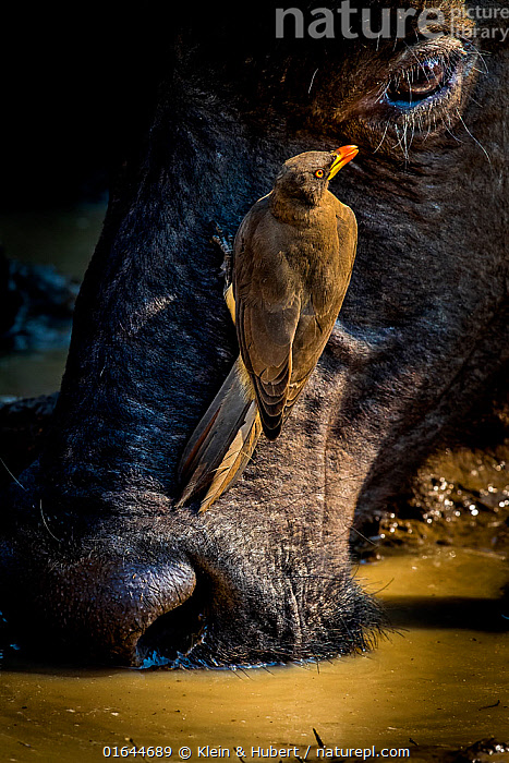 African buffalo drinking (Syncerus caffer) at water hole in dry season and Red-billed oxpecker (Buphagus erythrorhynchus) on head. South Luangwa National Park, Zambia.  ,  Animal,Wildlife,Vertebrate,Bird,Birds,Songbird,Oxpecker,Red billed oxpecker,Mammal,Bovid,Buffalo,African buffalo,Animalia,Animal,Wildlife,Vertebrate,Aves,Bird,Birds,Passeriformes,Songbird,Passerine,Buphagidae,Oxpecker,Buphagus,Buphagus erythrorhynchus,Red billed oxpecker,Tanagra erythrorhyncha,Mammalia,Mammal,Artiodactyla,Even-toed ungulates,Bovidae,Bovid,ruminantia,Ruminant,Syncerus,Buffalo,Syncerus caffer,African buffalo,Symbiotic Relationship,Close Up,Animal Behaviour,Drinking,Behaviour,Behavioural,  ,  Klein & Hubert