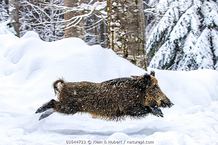 European wild boar (Sus scrofa) running and jumping in snow, Germany. Captive.  ,  Animal,Wildlife,Vertebrate,Mammal,Pig,Animalia,Animal,Wildlife,Vertebrate,Mammalia,Mammal,Artiodactyla,Even-toed ungulates,Suidae,Pig,Sus,Sus scrofa,Wild Boar,Jumping,Running,Europe,Western Europe,Germany,Snow,Winter,Forest,Moving,Movement,  ,  Klein & Hubert