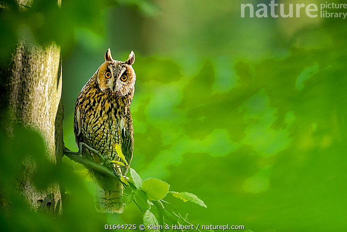 Long-eared owl (Asio otus) on beech tree in forest in spring France. Controlled conditions  ,  Animal,Wildlife,Vertebrate,Bird,Birds,Owl,Long eared owl,Animalia,Animal,Wildlife,Vertebrate,Aves,Bird,Birds,Strigiformes,Owl,Bird of prey,Strigidae,Striginae,Asio,Asio otus,Long eared owl,Northern long eared owl,Common long eared owl,Strix otus,Europe,Western Europe,France,Camera Focus,Selective Focus,Shallow depth of field,Low depth of field,  ,  Klein & Hubert