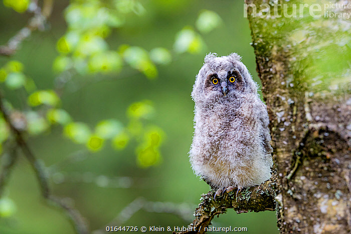 Long-eared owl (Asio otus) chick on branch in spring France. Controlled conditions  ,  Animal,Wildlife,Vertebrate,Bird,Birds,Owl,Long eared owl,Animalia,Animal,Wildlife,Vertebrate,Aves,Bird,Birds,Strigiformes,Owl,Bird of prey,Strigidae,Striginae,Asio,Asio otus,Long eared owl,Northern long eared owl,Common long eared owl,Strix otus,Fluffy,Europe,Western Europe,France,Young Animal,Baby,Chick,  ,  Klein & Hubert