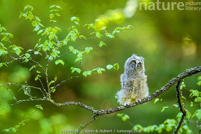 Long-eared owl (Asio otus) chick on branch in spring, France. Controlled conditions  ,  Animal,Wildlife,Vertebrate,Bird,Birds,Owl,Long eared owl,Animalia,Animal,Wildlife,Vertebrate,Aves,Bird,Birds,Strigiformes,Owl,Bird of prey,Strigidae,Striginae,Asio,Asio otus,Long eared owl,Northern long eared owl,Common long eared owl,Strix otus,Fluffy,Europe,Western Europe,France,Young Animal,Baby,Chick,  ,  Klein & Hubert
