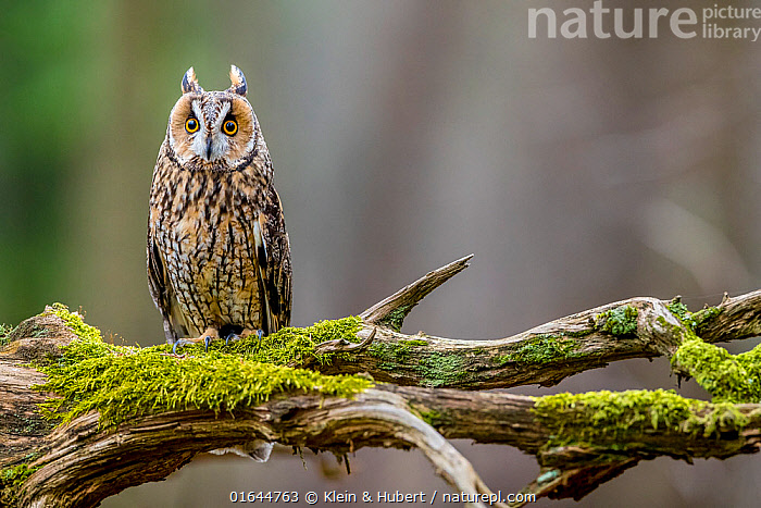 Long-eared owl (Asio otus) on mossy branch in forest in spring, France. April. Controlled conditions  ,  Animal,Wildlife,Vertebrate,Bird,Birds,Owl,Long eared owl,Animalia,Animal,Wildlife,Vertebrate,Aves,Bird,Birds,Strigiformes,Owl,Bird of prey,Strigidae,Striginae,Asio,Asio otus,Long eared owl,Northern long eared owl,Common long eared owl,Strix otus,Europe,Western Europe,France,  ,  Klein & Hubert