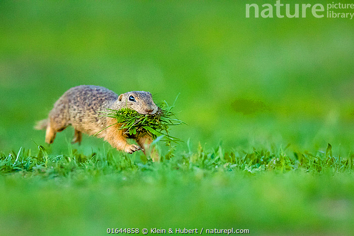 European ground squirrel / Souslik (Spermophilus citellus) female running with mouth full of grass to feed her babies in their burrow, Hungary  ,  Animal,Wildlife,Vertebrate,Mammal,Rodent,Ground squirrel,European Ground Squirrel,Animalia,Animal,Wildlife,Vertebrate,Mammalia,Mammal,Rodentia,Rodent,Sciuridae,Spermophilus,Ground squirrel,Spermophilus citellus,European Ground Squirrel,European Souslik,European Squirrel,Running,Europe,Eastern Europe,East Europe,Hungary,Female animal,Plant,Grass Family,Grass,Grasses,Moving,Movement,  ,  Klein & Hubert