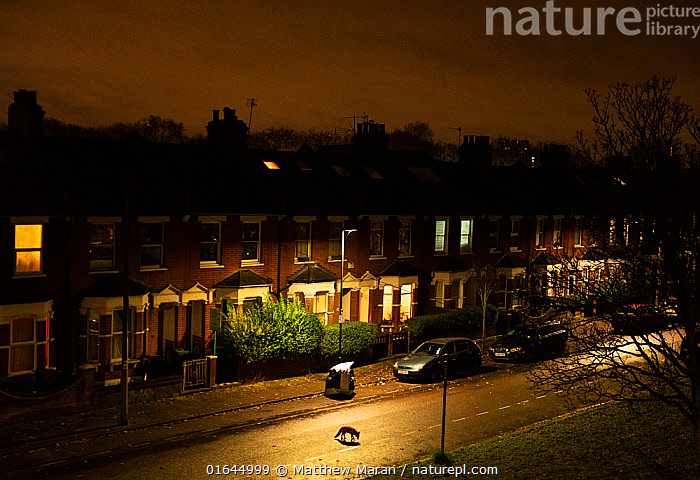 Fox (Vulpes vulpes) moving through its territory at night, North London, England, UK. December.  ,  Animal,Wildlife,Vertebrate,Mammal,Carnivore,Canid,True fox,Red fox,Animalia,Animal,Wildlife,Vertebrate,Mammalia,Mammal,Carnivora,Carnivore,Canidae,Canid,Vulpes,True fox,Vulpini,Caninae,Vulpes vulpes,Red fox,Europe,Western Europe,UK,Great Britain,England,London,Greater London,Neighborhood,Neighborhoods,Neighbourhood,Neighbourhoods,Suburb,Suburban,Suburbia,Suburbs,City,Road,Building,Residential Structure,House,Houses,Night,Catalogue13,Catalogue13  ,  Matthew Maran