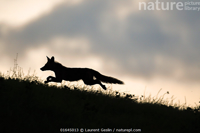 Red fox (Vulpes vulpes) silhouetted, running along horizon, Switzerland  ,  Animal,Wildlife,Vertebrate,Mammal,Carnivore,Canid,True fox,Red fox,Animalia,Animal,Wildlife,Vertebrate,Mammalia,Mammal,Carnivora,Carnivore,Canidae,Canid,Vulpes,True fox,Vulpini,Caninae,Vulpes vulpes,Red fox,Running,Europe,Western Europe,Switzerland,Back Lit,Silhouette,Moving,Movement,Catalogue13,Catalogue13  ,  Laurent Geslin
