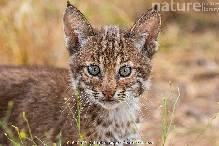 Portrait of a wild female Bobcat (Lynx rufus) kitten, Texas, USA. September.  ,  Animal,Wildlife,Vertebrate,Mammal,Carnivore,Cat,Lynx,American bobcat,American,Animalia,Animal,Wildlife,Vertebrate,Mammalia,Mammal,Carnivora,Carnivore,Felidae,Cat,Lynx,Lynx rufus,American bobcat,Felis rufus,Cute,Adorable,North America,USA,Southern USA,Texas,Portrait,Young Animal,Baby,Baby Mammal,Kitten,Kittens,Female animal,Direct Gaze,American,United States of America,  ,  Karine Aigner