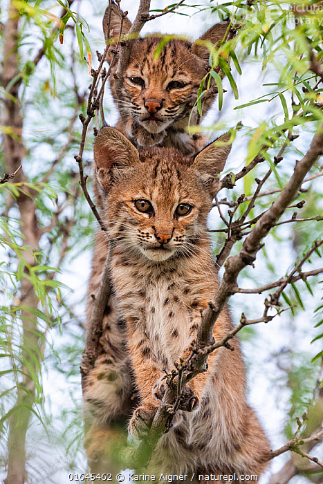 Portrait of two wild Bobcat (Lynx rufus) kittens in a tree, Texas, USA. September.  ,  Animal,Wildlife,Vertebrate,Mammal,Carnivore,Cat,Lynx,American bobcat,American,Animalia,Animal,Wildlife,Vertebrate,Mammalia,Mammal,Carnivora,Carnivore,Felidae,Cat,Lynx,Lynx rufus,American bobcat,Felis rufus,Sibling,Siblings,Cute,Adorable,Two,North America,USA,Southern USA,Texas,Young Animal,Baby,Baby Mammal,Kitten,Kittens,Family,Climbing,American,United States of America,  ,  Karine Aigner