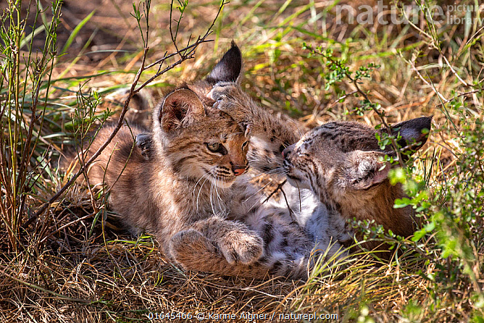 Two wild Bobcat (Lynx rufus) kittens playing in the bush. Texas, USA. September.  ,  Animal,Wildlife,Vertebrate,Mammal,Carnivore,Cat,Lynx,American bobcat,American,Animalia,Animal,Wildlife,Vertebrate,Mammalia,Mammal,Carnivora,Carnivore,Felidae,Cat,Lynx,Lynx rufus,American bobcat,Felis rufus,Sibling,Siblings,Cute,Adorable,Two,North America,USA,Southern USA,Texas,Young Animal,Baby,Baby Mammal,Kitten,Kittens,Family,American,United States of America,  ,  Karine Aigner