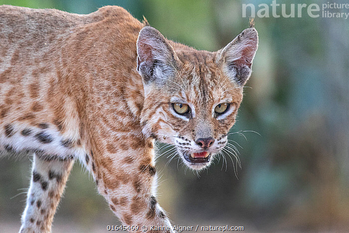 Portrait of a wild male Bobcat (Lynx rufus), Texas, USA. September.  ,  Animal,Wildlife,Vertebrate,Mammal,Carnivore,Cat,Lynx,American bobcat,American,Animalia,Animal,Wildlife,Vertebrate,Mammalia,Mammal,Carnivora,Carnivore,Felidae,Cat,Lynx,Lynx rufus,American bobcat,Felis rufus,North America,USA,Southern USA,Texas,Male Animal,Direct Gaze,American,United States of America,Catalogue13,Catalogue13  ,  Karine Aigner