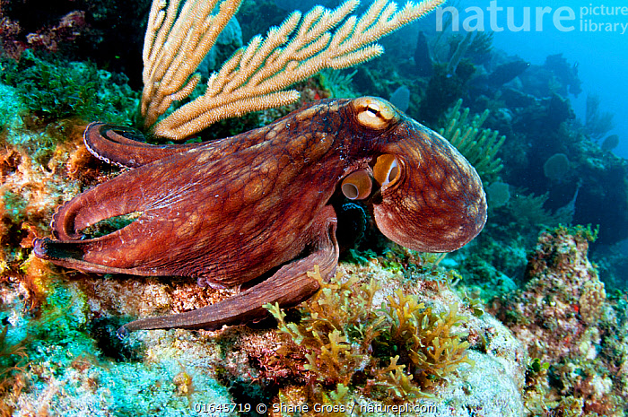 Common octopus (Octopus vulgaris) on a coral reef in The Bahamas. August.  ,  Swimming,Camouflage,The Caribbean,Caribbean,West Indies,Animal,Tropical,Reef,Reefs,Coral Reef,Coral Reefs,Ocean,Caribbean Sea,Marine,Water,Saltwater,Biodiversity hotspots,Coral,  ,  Shane Gross