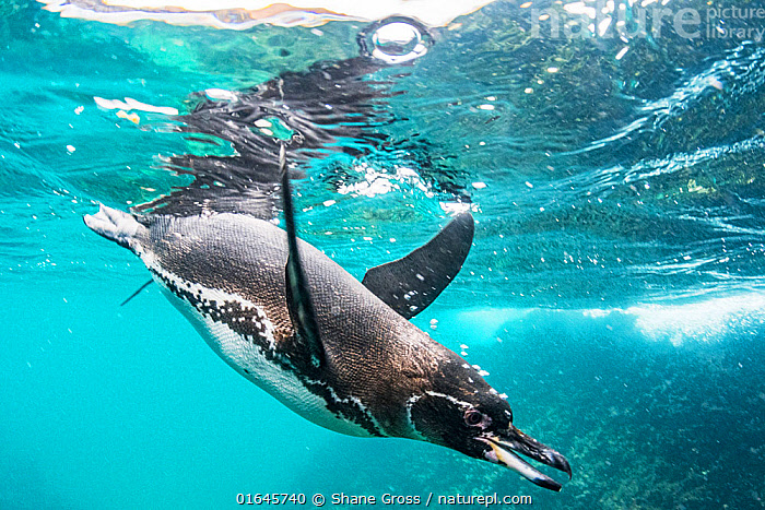 Galapagos penguin (Spheniscus mendiculus) hunting off Bartolome Islet, Santiago Island, Galapagos, Ecuador. December.  ,  Diving,Swimming,Latin America,South America,Galapagos Islands,Galapagos,Side View,Animal,Ocean,Pacific Ocean,Marine,Underwater,Water,Animal Behaviour,Predation,Hunting,Behaviour,Saltwater,Biodiversity hotspot,Behavioural,Galapagos National Park,UNESCO World Heritage Site,  ,  Shane Gross