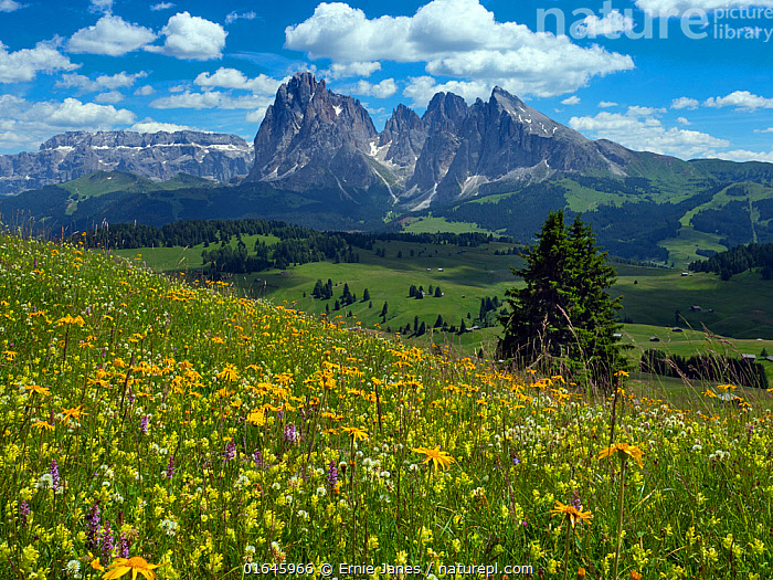 Alpine flower meadow landscape - Seiser Alm with mountains of Langkofel Group in the background. Dolomoites, South Tyrol, Italy. July 2019.  ,  Colour,Yellow,Europe,Southern Europe,Italy,Plant,Flower,Mountain,Alpine,Landscape,Summer,South Tyrol,Sudtirol,Dolomite mountains,Dolomites,  ,  Ernie  Janes