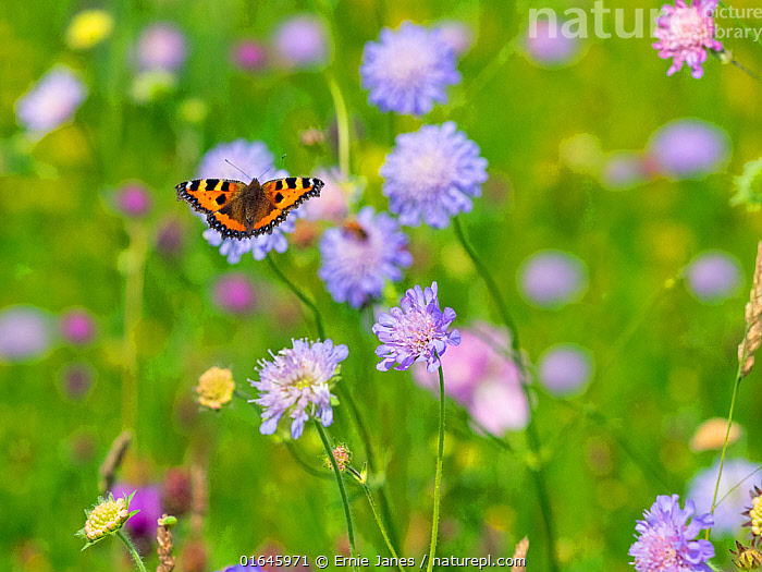 Small Tortoiseshell Butterfly (Aglais urticae) feeding on scabious flowers in hay meadow, Wensum Valley, Norfolk, England, UK, July.  ,  Animal,Wildlife,Arthropod,Insect,Brushfooted butterfly,Tortoiseshell,Small tortoiseshell,Animalia,Animal,Wildlife,Hexapoda,Arthropod,Invertebrate,Hexapod,Arthropoda,Insecta,Insect,Lepidoptera,Lepidopterans,Nymphalidae,Brushfooted butterfly,Fourfooted butterfly,Nymphalid,Butterfly,Papilionoidea,Aglais,Tortoiseshell,Aglais urticae,Small tortoiseshell,Mountain tortoiseshell,Nymphalis urticae,Vanessa urticae,Papilio urticae,Flying,Colour,Purple,Europe,Western Europe,UK,Great Britain,England,Norfolk,Plant,Flower,Summer,Wensum Valley,  ,  Ernie  Janes