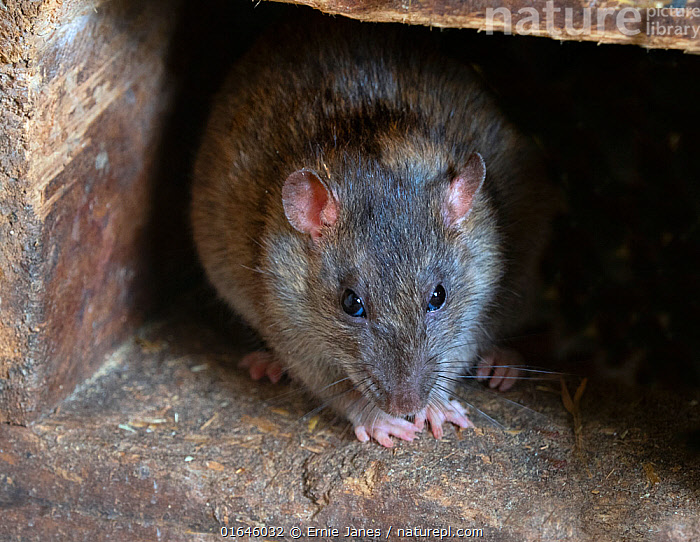 RF - Brown rat (Rattus norvegicus) in farm building (This image may be licensed either as rights managed or royalty free.)  ,  Animal,Wildlife,Vertebrate,Mammal,Rodent,True Rat,Brown rat,Animalia,Animal,Wildlife,Vertebrate,Mammalia,Mammal,Rodentia,Rodent,Muridae,Rattus,True Rat,Rattus norvegicus,Brown rat,Common rat,Street rat,Sewer rat,Norway rat,Brown Norway rat,Norwegian rat,Wharf rat,Europe,Portrait,Building,Agricultural Building,Barn,Indoors,Pests,RF,Royalty free,RF5,  ,  Ernie  Janes