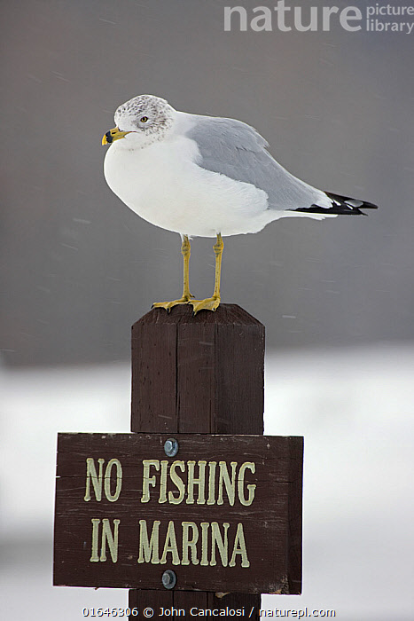 Ring-billed Gull (Larus delawarensis) perched on a 'No Fishing' sign, New York, USA  ,  Animal,Wildlife,Vertebrate,Bird,Birds,Gull,Larinae,Ring billed gull,American,Animalia,Animal,Wildlife,Vertebrate,Aves,Bird,Birds,Charadriiformes,Laridae,Gull,Seabird,Larus,Larinae,Larus delawarensis,Ring billed gull,Humorous,North America,USA,Information,Seagulls,American,United States of America,  ,  John Cancalosi