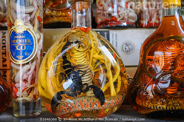 Snake and scorpion wine at Hanoi Market, Vietnam. The wine is believed to have curative properties and is used in Traditional Chinese Medicine.  ,  TCM,,Animal,Wildlife,Arthropod,Arachnid,Scorpion,Vertebrate,Reptile,Squamate,Animalia,Animal,Wildlife,Chelicerata,Arthropod,Chelicerate,Arthropoda,Arachnida,Arachnid,Scorpiones,Scorpion,Vertebrate,Reptilia,Reptile,Squamata,Squamate,Snake,Snakes,Selling,Sell,Preserved,Preservation,Asia,South East Asia,Vietnam,Hanoi,Drink,Alcoholic Drink,Wine,Wines,Container,Containers,Bottle,Bottles,Market,Asian Market,Market Stall,Market Stalls,Stall,Stalls,Wildlife trade,Conservation issues,Invertebrate,Medicine,Animal trade,  ,  Jo-Anne McArthur / We Animals