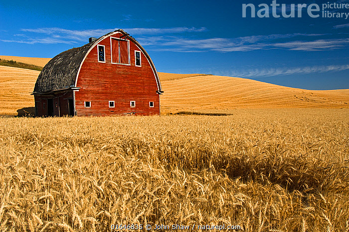 Barn and wheat field in the Palouse farming area of southeastern Washington, USA, August  ,  American,North America,USA,Western USA,Washington,Plant,Crops,Produce,Cultivated,Building,Agricultural Building,Barn,Agricultural Land,Cultivated Land,Sky,Summer,Agriculture,Farmland,Blue sky,American,United States of America,Catalogue13,Catalogue13  ,  John Shaw